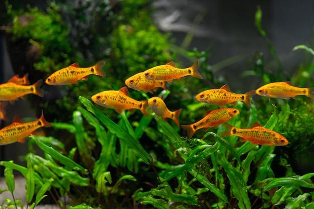 Peixes tropicais laranja no aquário.