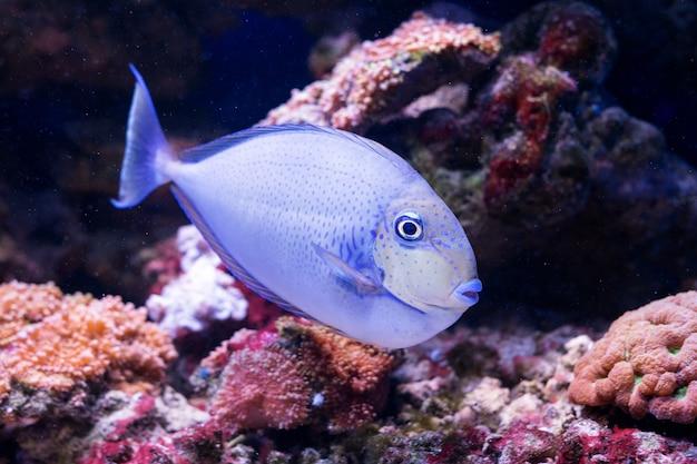 Peixes tropicais nadam perto de recifes de corais. foco seletivo