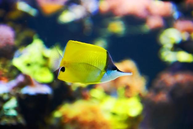 Peixes tropicais perto de recife de coral com água azul do oceano