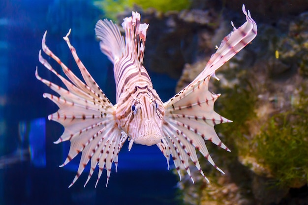Peixes vermelhos do aquário dos volitans de pterois do lionfish. peixes predadores com barbatanas em forma de leque que contêm agulhas venenosas afiadas