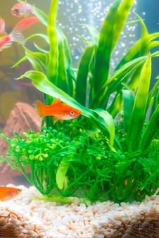 Peixes vermelhos pequenos com a planta verde na vida subaquática do aquário ou do aquário.