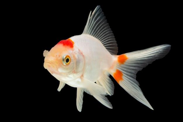 Peixinho branco macro