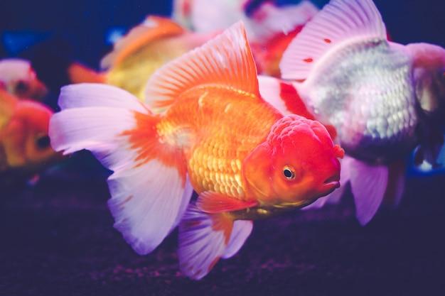 Peixinho dourado em um armário de vidro.