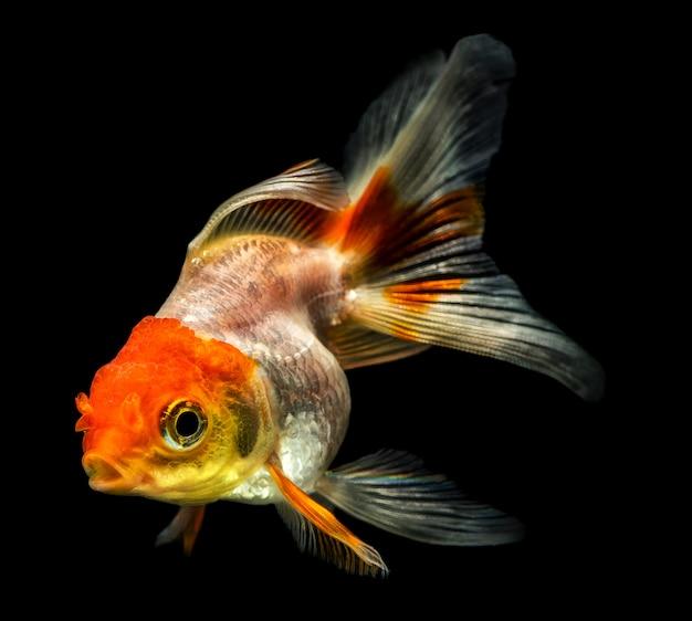 Peixinho dourado em um fundo preto