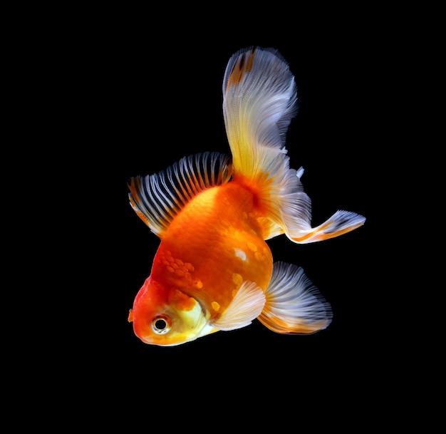 Peixinho dourado isolado em um fundo preto