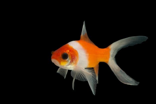Peixinho dourado macro colorido