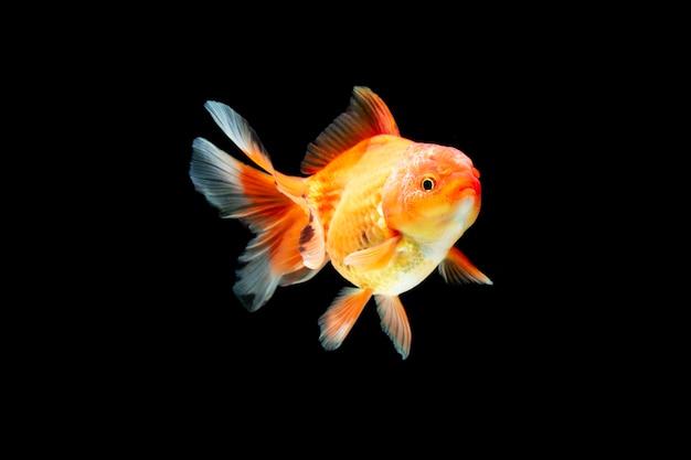 Peixinho dourado nadando em fundo preto