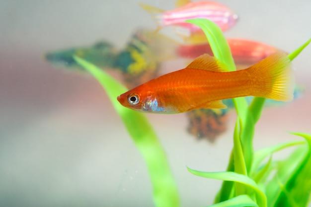 Peixinho vermelho com planta verde no aquário ou aquário