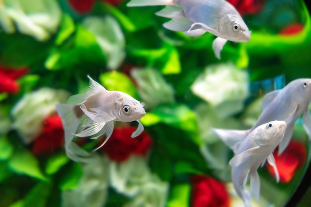 Peixinhos dourados nadam entre as flores debaixo d'água