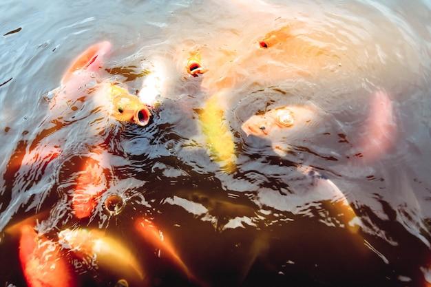 Peixinhos dourados nadam na piscina em um fundo de água laranja