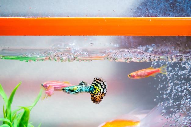 Peixinhos no aquário ou aquário, peixe guppy e vermelho