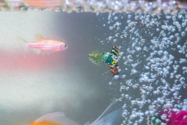Peixinhos no tanque de peixes ou aquário, peixe dourado, guppy e peixe vermelho