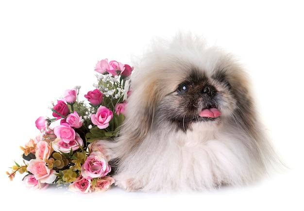 Pekingese cachorro em estúdio