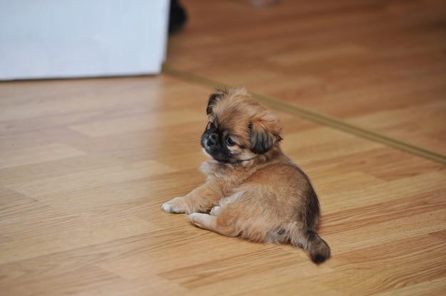 Pekingese cachorro relaxante em casa