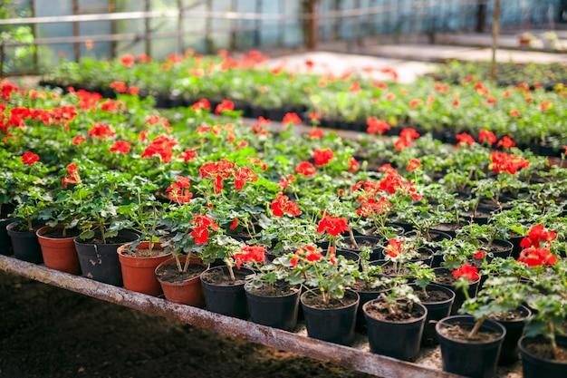 Pelargonium do gerânio na estufa do jardim botânico.