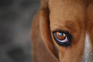 Peles beagle,