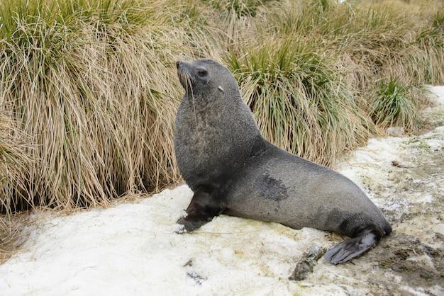 Peles de foca na grama