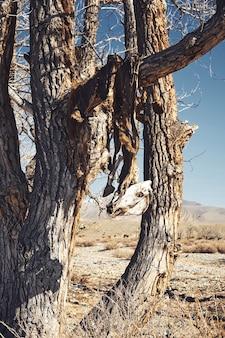 Peles e crânios de cavalos mortos nas árvores. rito ou ritual antigo em altai ou mongólia. foto exclusiva