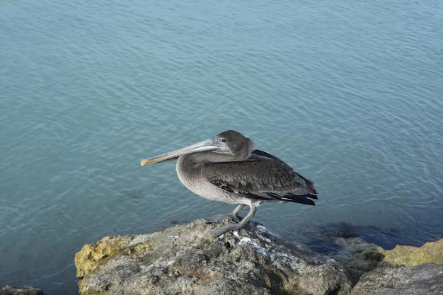 Pelican em aruba em uma rocha perto do oceano