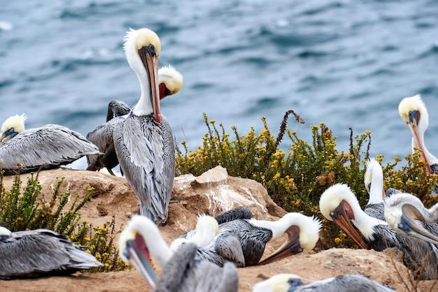 Pelican pássaros descansando na praia