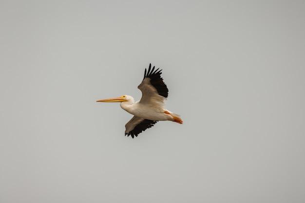 Pelicano branco e preto no céu