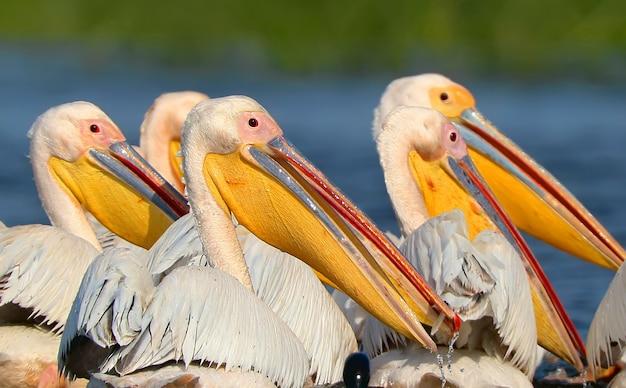 Pelicano branco flutua em direção ao nascer do sol