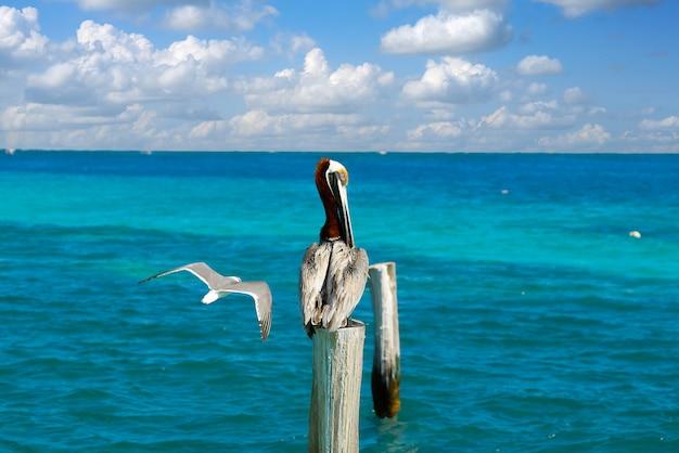 Pelicano do caribe em um poste de praia