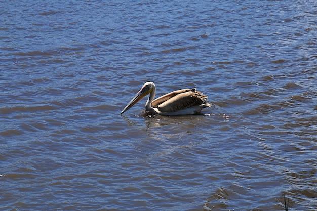 Pelicano em safari na áfrica