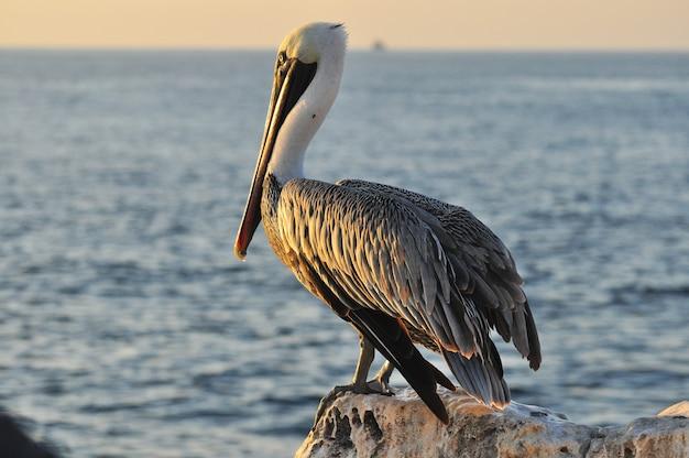 Pelicano em uma paisagem à beira-mar