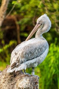 Pelicano em uma rocha