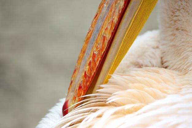 Pelicano limpando as penas do bico, close-up