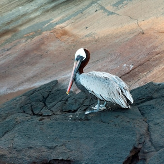 Pelicano marrom, (pelecanus, occidentalis), tagus, enseada, isabela, ilha, ilhas galapagos, equador