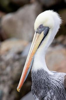 Pelicano na praia