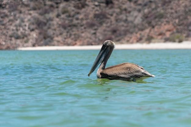 Pelicano no oceano com lindo azul turquesa