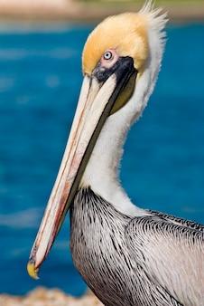 Pelicano-pardo, close-up