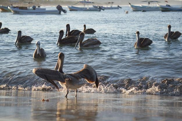 Pelicanos bonitos e escuros na água ao pôr do sol