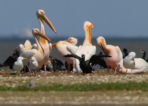 Pelicanos brancos, corvos-marinhos e gaivotas descansam em um banco de areia em um dia ensolarado