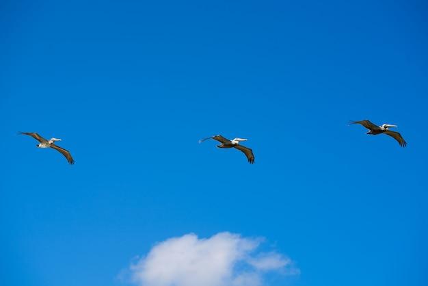 Pelicanos do caribe voando em uma fileira