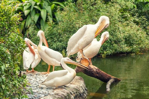 Pelicanos grandes brancos descansando na margem do lago
