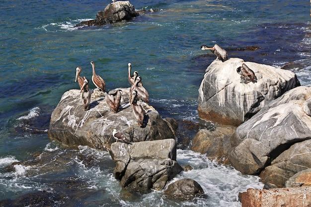 Pelicanos na vila de zapallar, chile