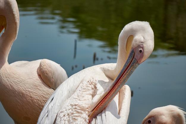 Pelicanos selvagens no lago
