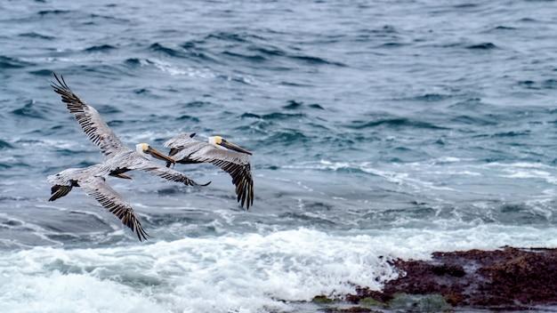 Pelicanos voadores e oceano no fundo