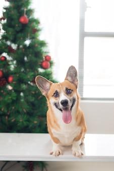 Pembroke corgi em uma casa decorada com uma árvore de natal. boas festas e véspera de natal