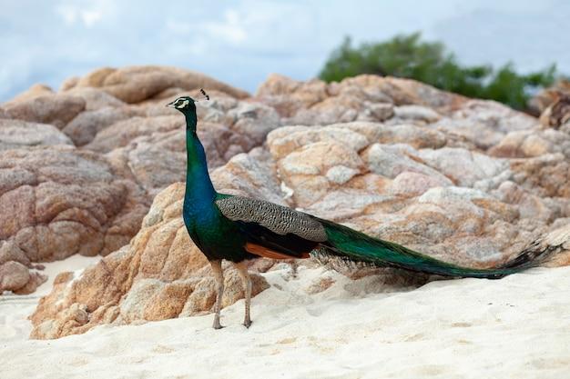 Pena bonita do pavão indiano masculino que está na praia da areia