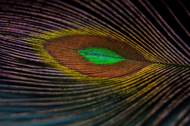 Pena de pavão colorido lindo. foto macro artística