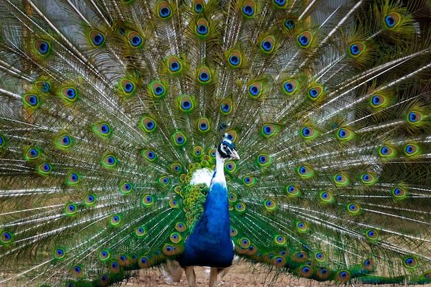 Penas da cauda do pavão majestoso na fazenda de pássaros.