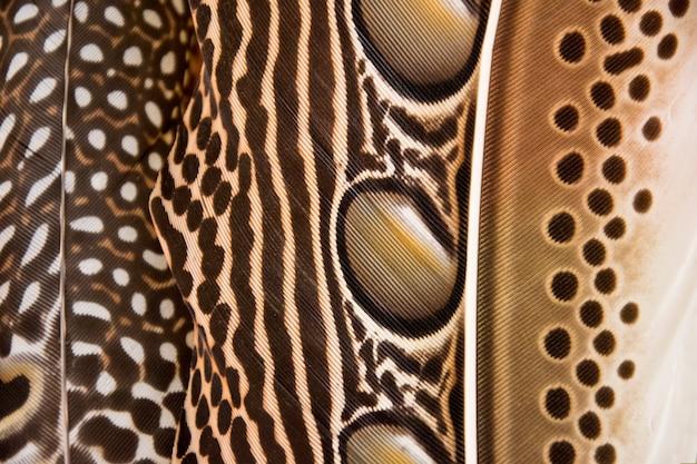 Penas de argusianus argus do close-up. textura de fundo de penas
