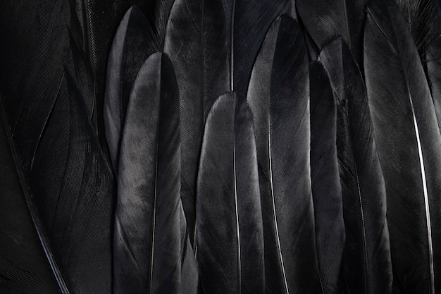 Penas de asa negra abstraem fundo escuro
