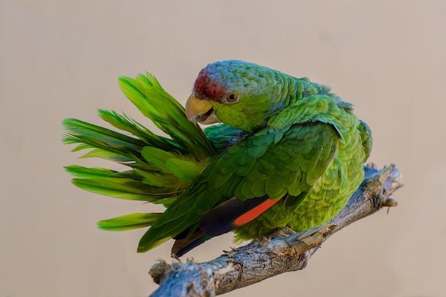 Penas de limpeza de papagaio-de-coroa-lilás da amazônia