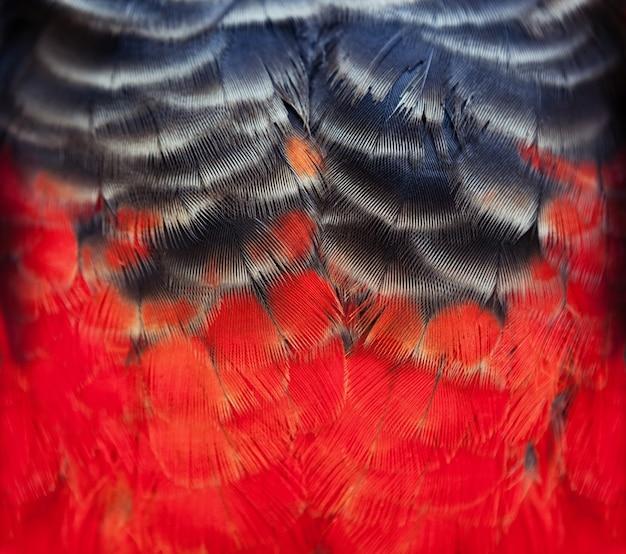 Penas de pássaro coloridas da arara vermelha com tons de laranja amarelo vermelho e tons pretos, fundo de natureza exótica e textura.
